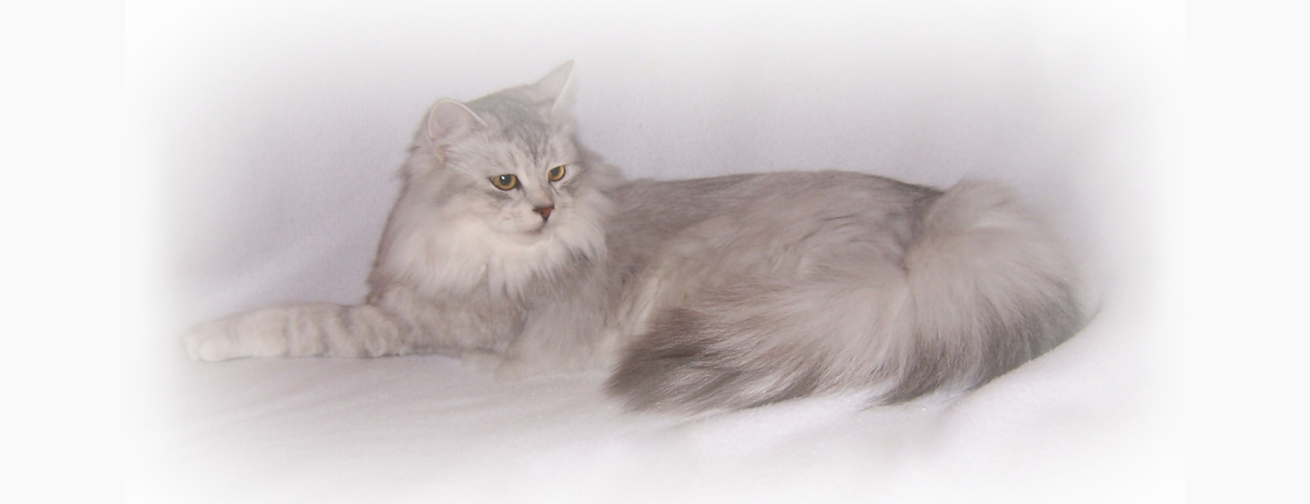 Siberian Kittens For Sale In Ny Can Cats Really Be Hypoallergenic